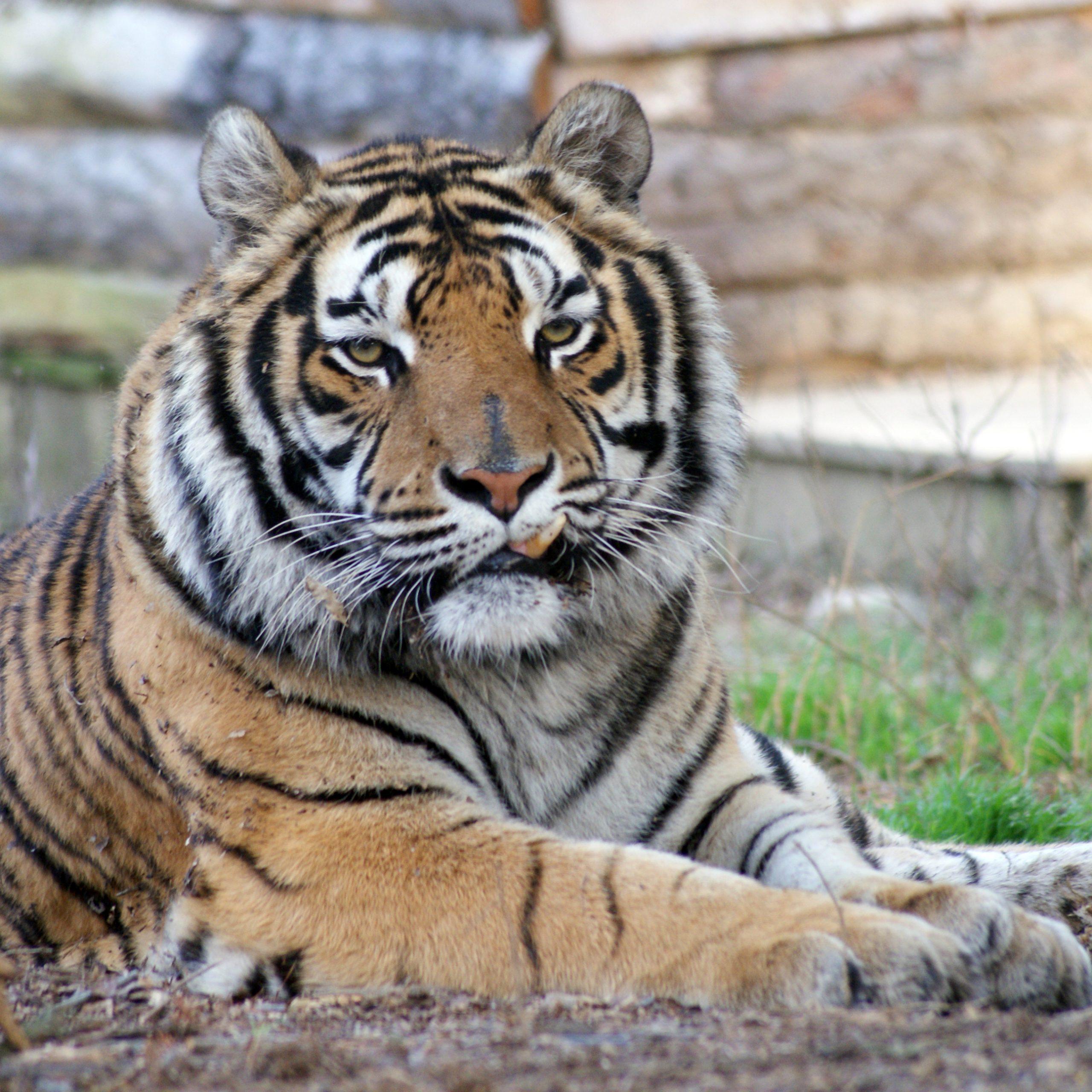 Emerson Tiger