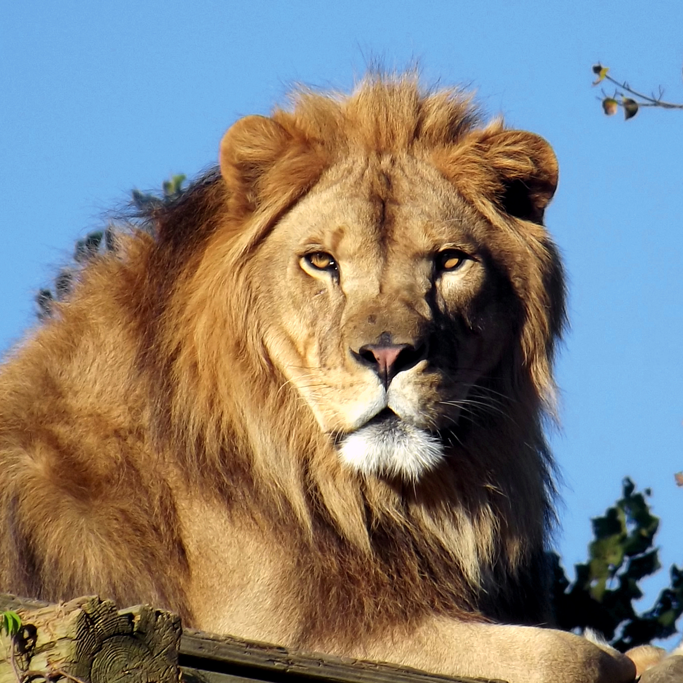 Meet our lions at Carolina Tiger Rescue