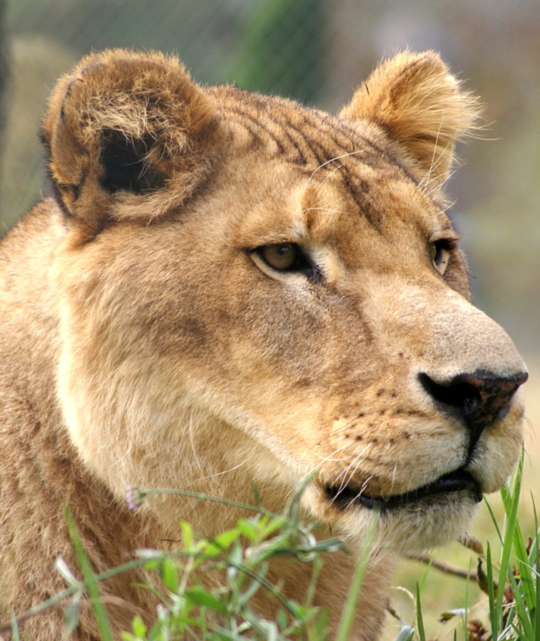 Tarzan Lion