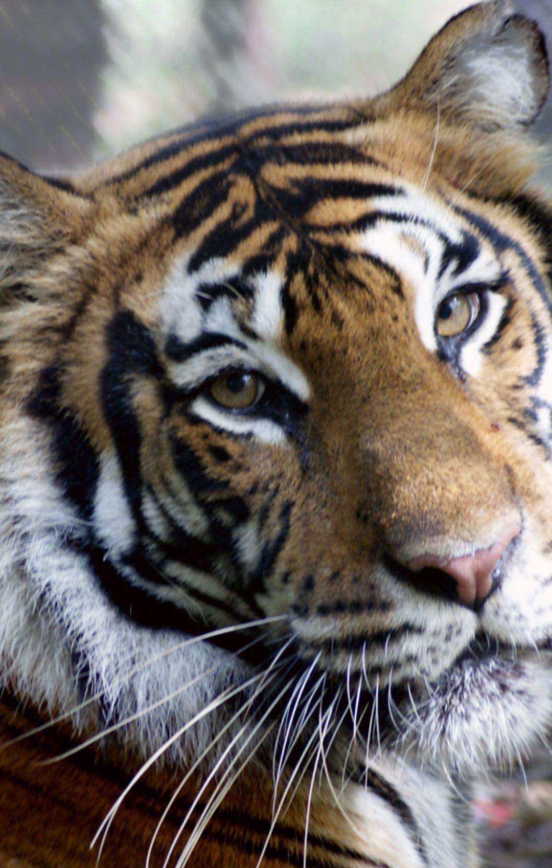 Moki Tiger