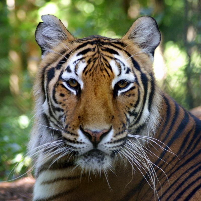 Camilla Tiger