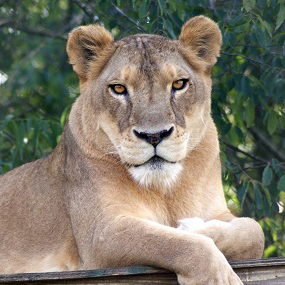 Sheba Lion
