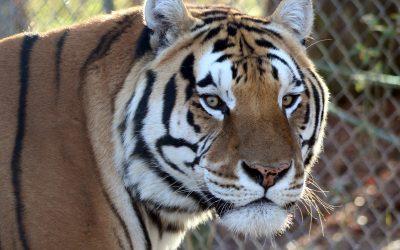 Caprichio Tiger