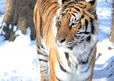 Carolina Tiger