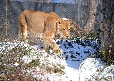 Reina Lion