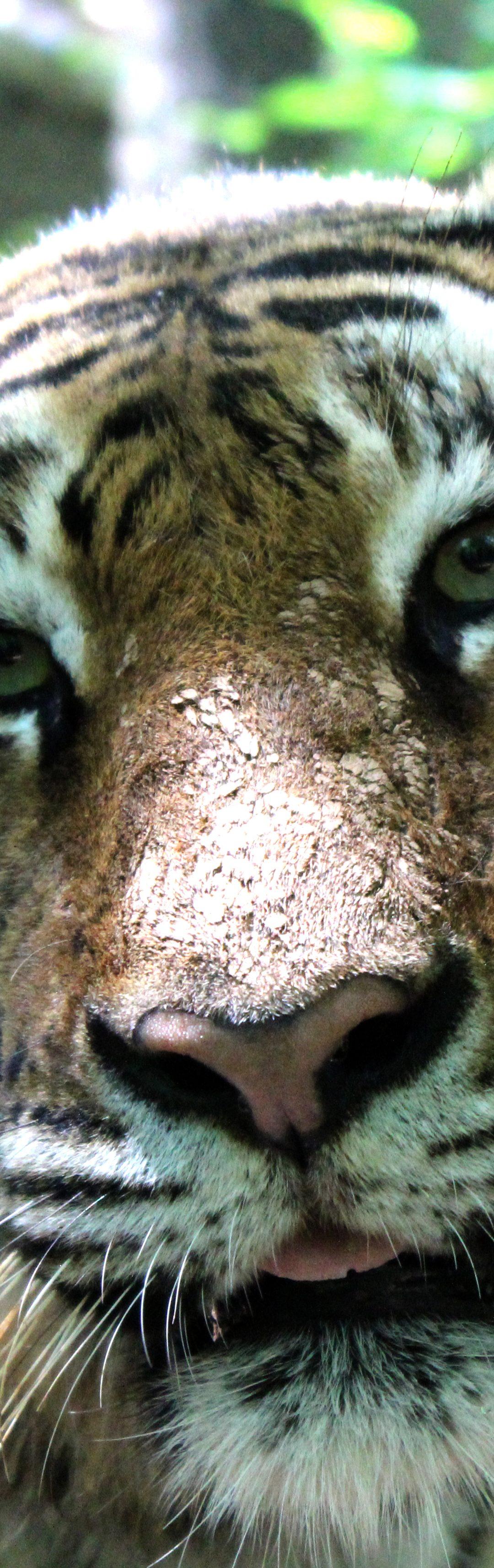 Shira Tiger