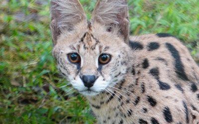 Pixie Serval