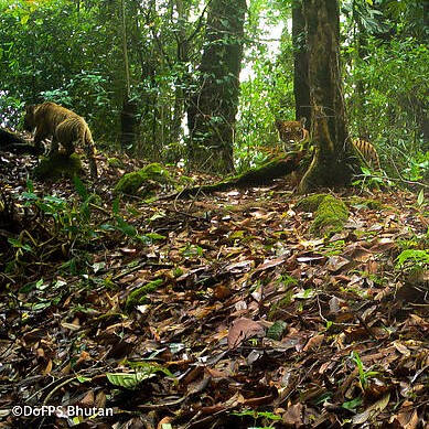 How one tigress in Bhutan is giving hope for conservation.