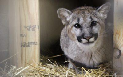 Carolina Tiger Rescue receives orphaned cougar cub