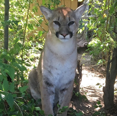 Beausoleil Cougar