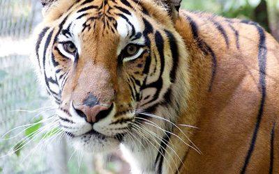 Roscoe Tiger