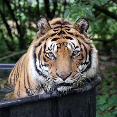 Tio Tiger