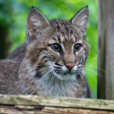 Willow Bobcat