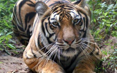 Madonna Tiger