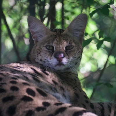 Mama Serval