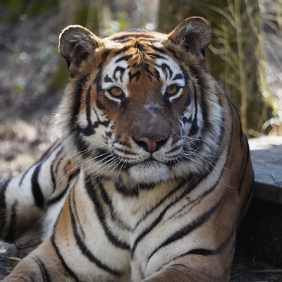 Yanaba Tiger
