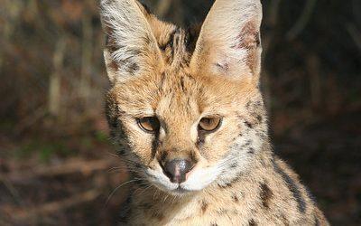 Queen Serval