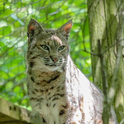 Ranger Bobcat