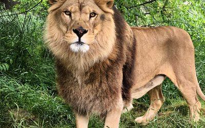 Roman Lion