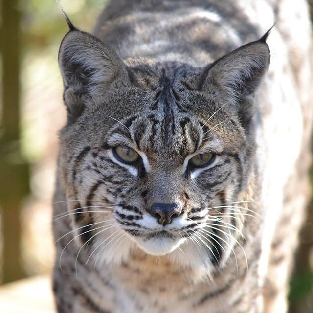 Meet our bobcats at Carolina Tiger Rescue