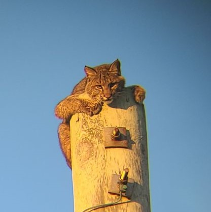 One of the most elusive creatures on the Outer Banks photographed atop utility pole