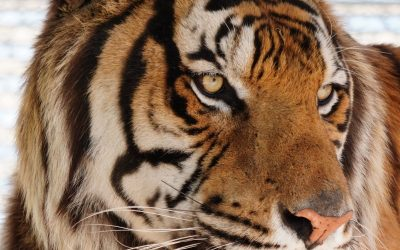 Carolina Tiger's Latest Rescue