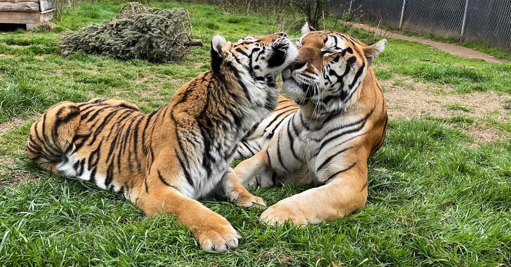 Get social with Carolina Tiger Rescue!