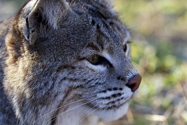 Collins Bobcat