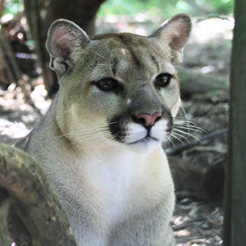 Meet our cougars at Carolina Tiger Rescue