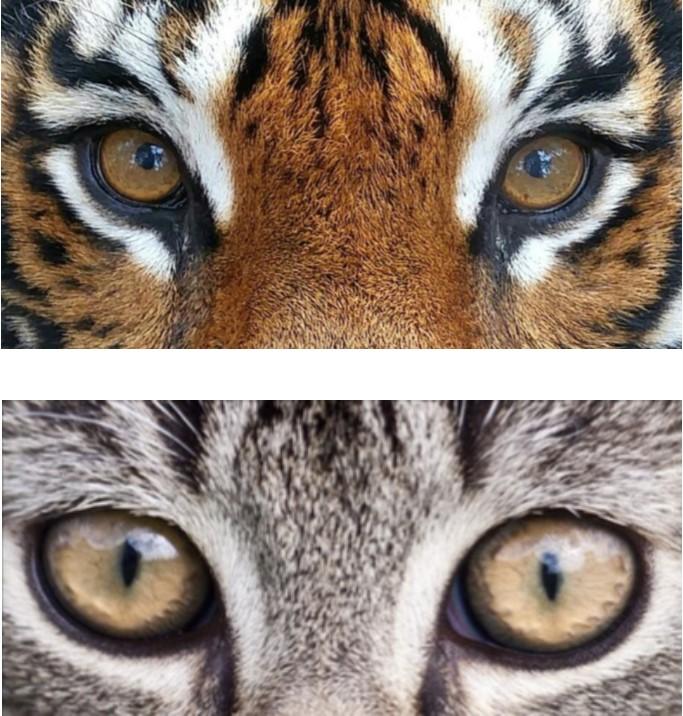 Big Cat vs. Small Cat
