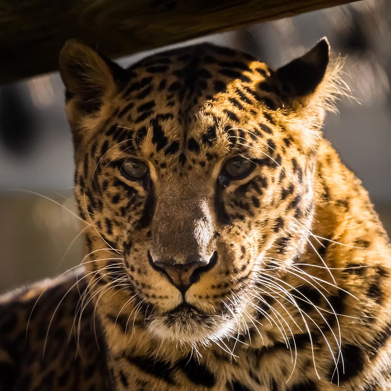 Meet our leopards at Carolina Tiger Rescue