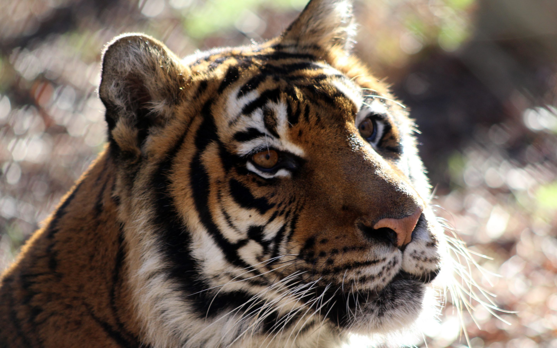 Mona Tiger