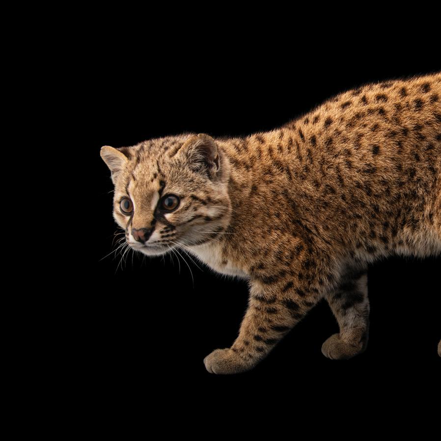Six-pound 'mystery cat' is Nat Geo photographer's milestone species.