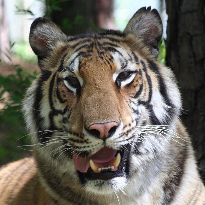 Riley Tiger