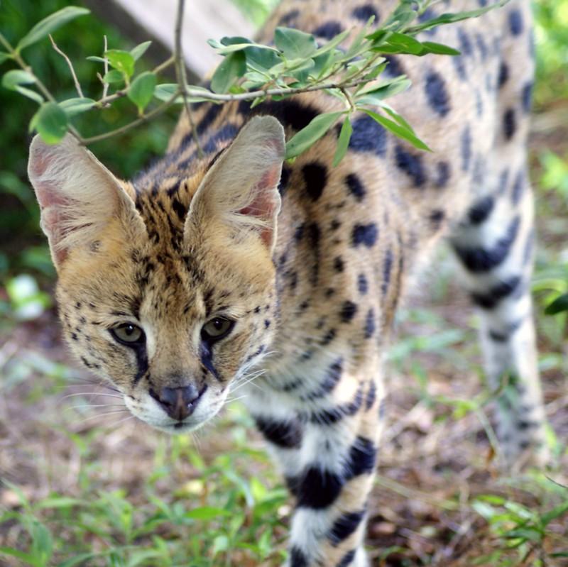 Meet our servals at Carolina Tiger Rescue