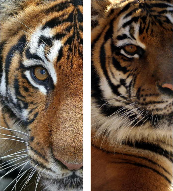 All Tigers Have Different Stripes