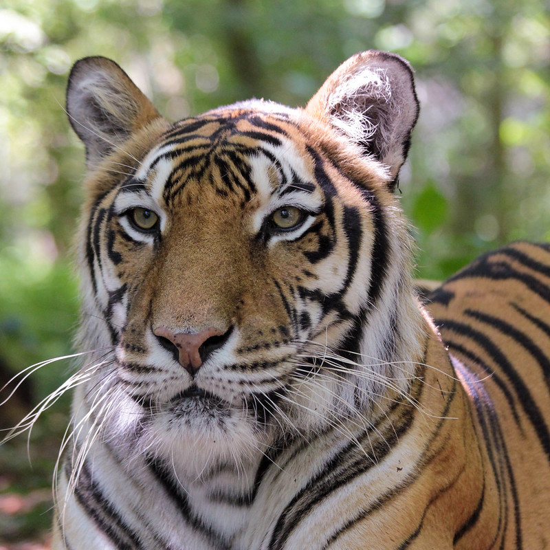 Meet our tigers at Carolina Tiger Rescue