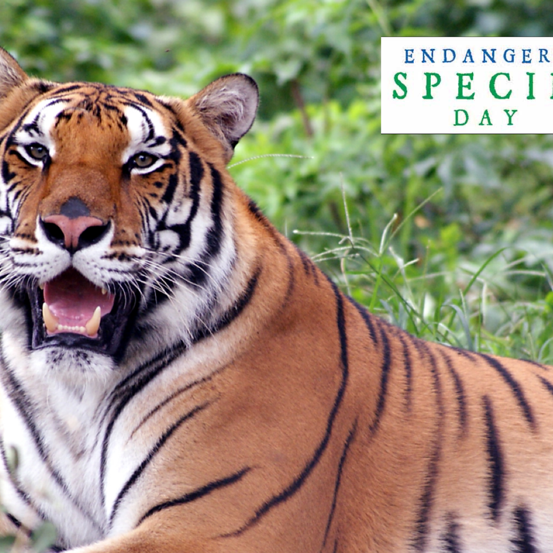How YOU Can Help Endangered Big Cats