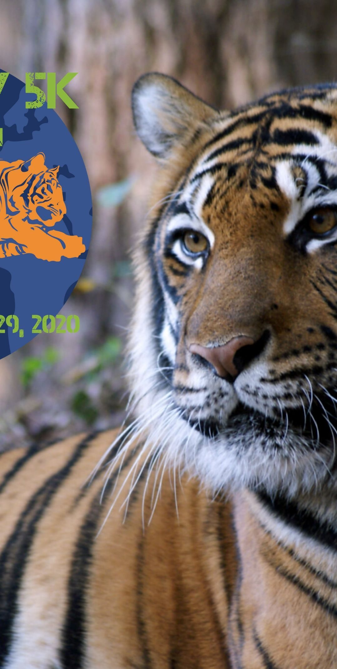 What would the tigers of Carolina Tiger Rescue be like as Tiger Day 5k teammates?