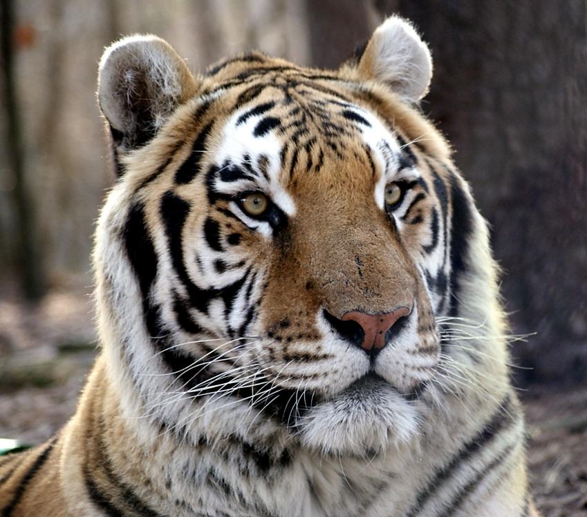 Rajah Tiger