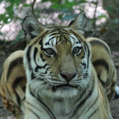 Shenandoah Tiger